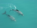 Hector Dolphins at play